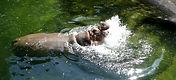 Flusspferd (3).jpg
