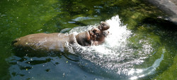 Flusspferd (3)