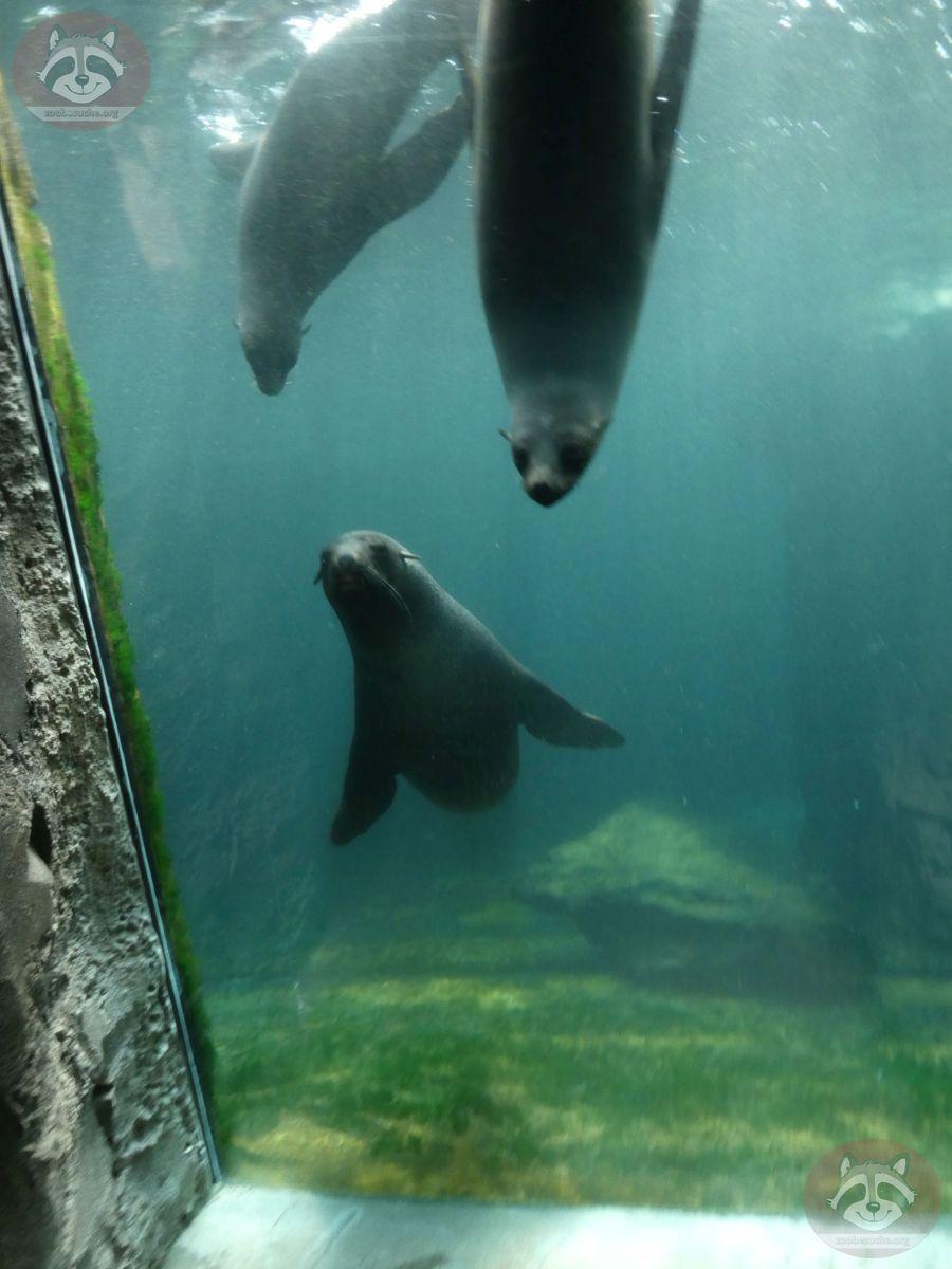 Südafrikanischer Seebär  (5)
