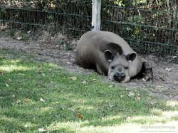 Tapir  (1)