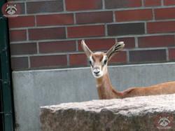 Mhorr Gazelle  (3)