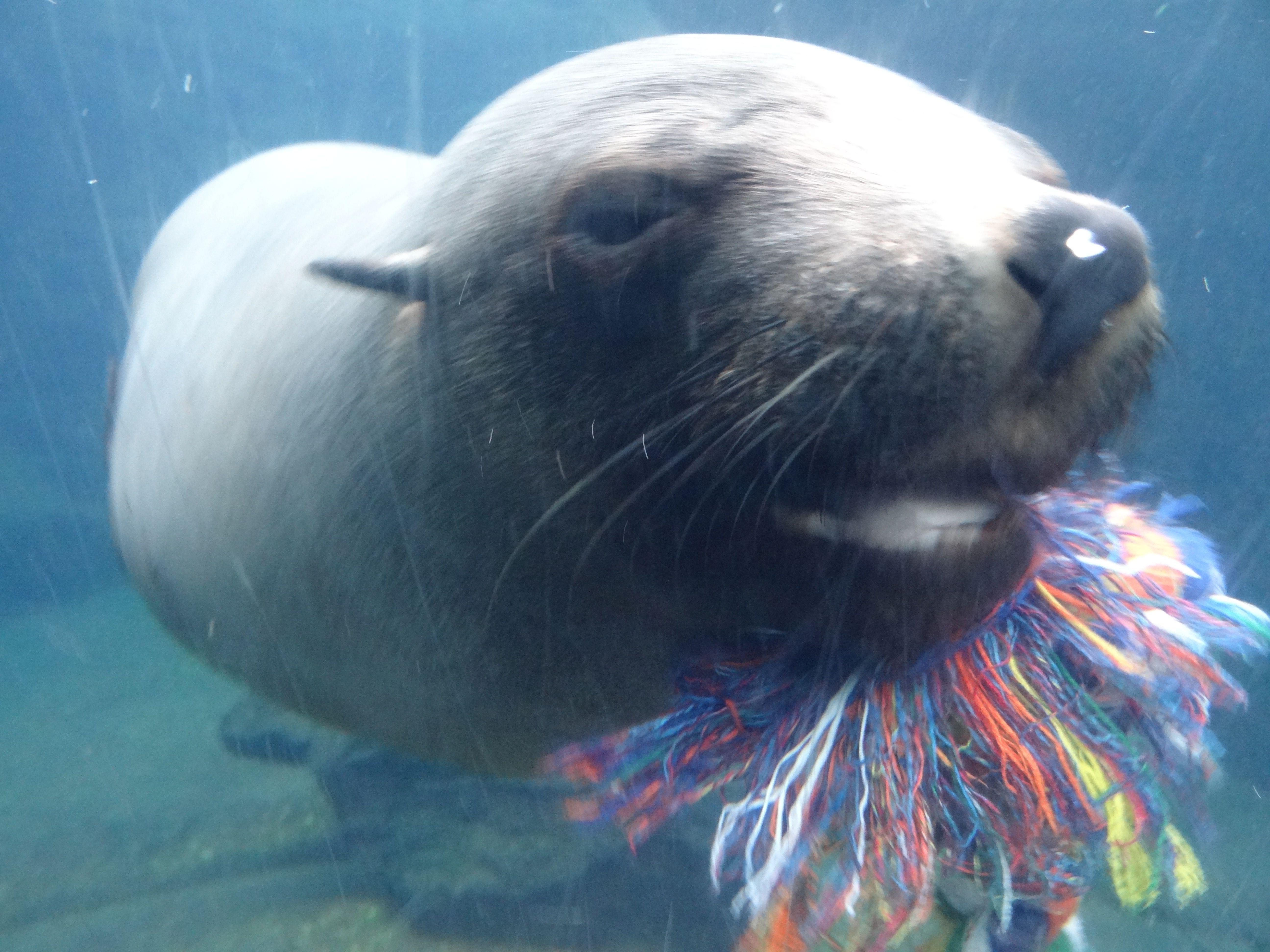 Südafrikanischer Seebär  (6)