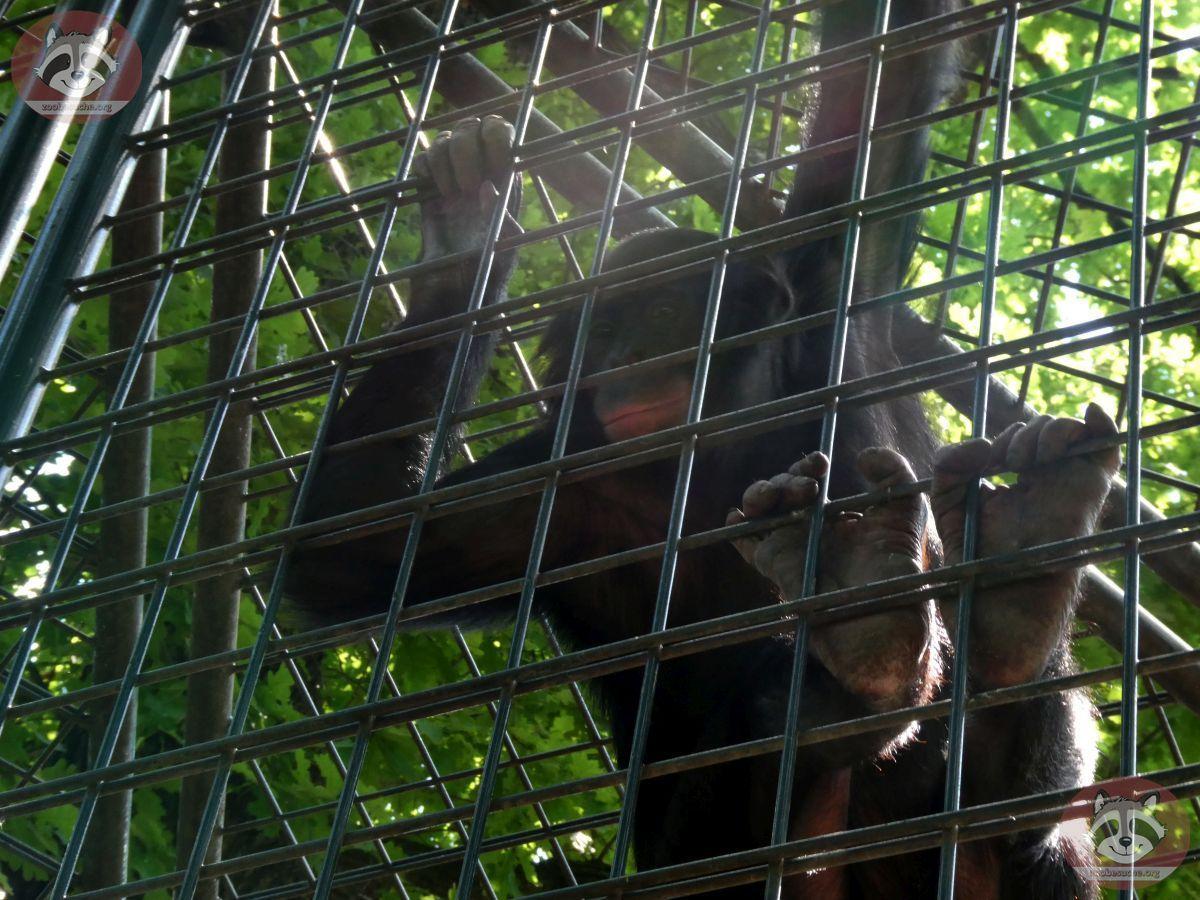 Bonobo  (6)