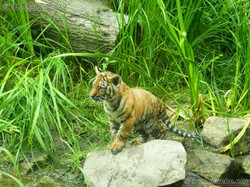 Tiger Jungtiere  (60)