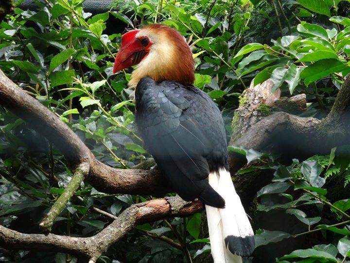 Mindanaohornvogel