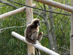 Gibbon  (17)