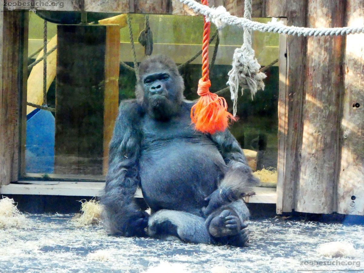 Gorilla Fritz Juli 2018