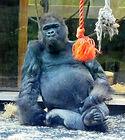 Gorilla  (3).jpg