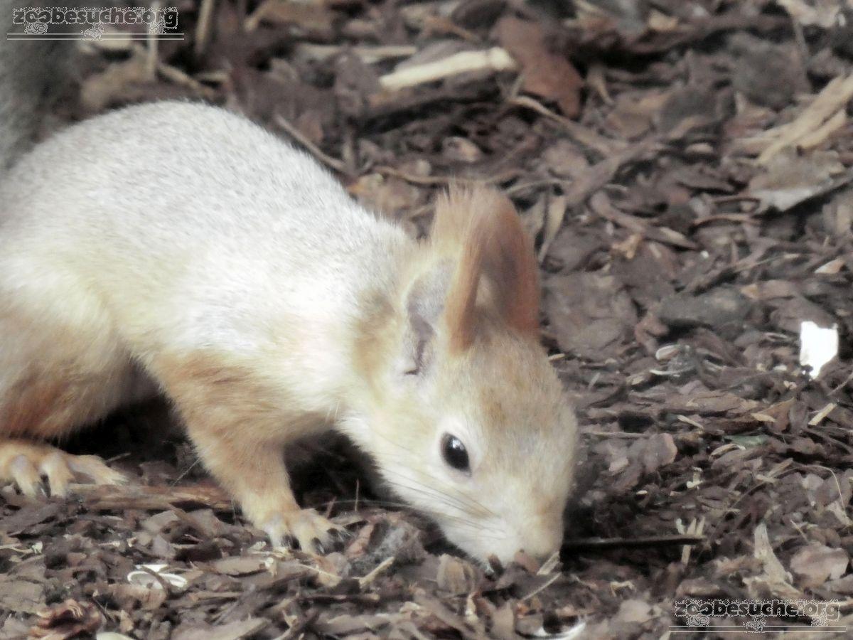 Sibirisches_Eichhörnchen__(10)