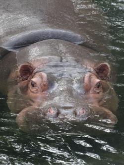 Flusspferd  (2)