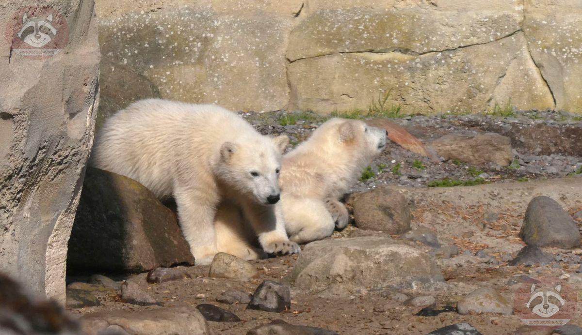 Eisbären  (8)
