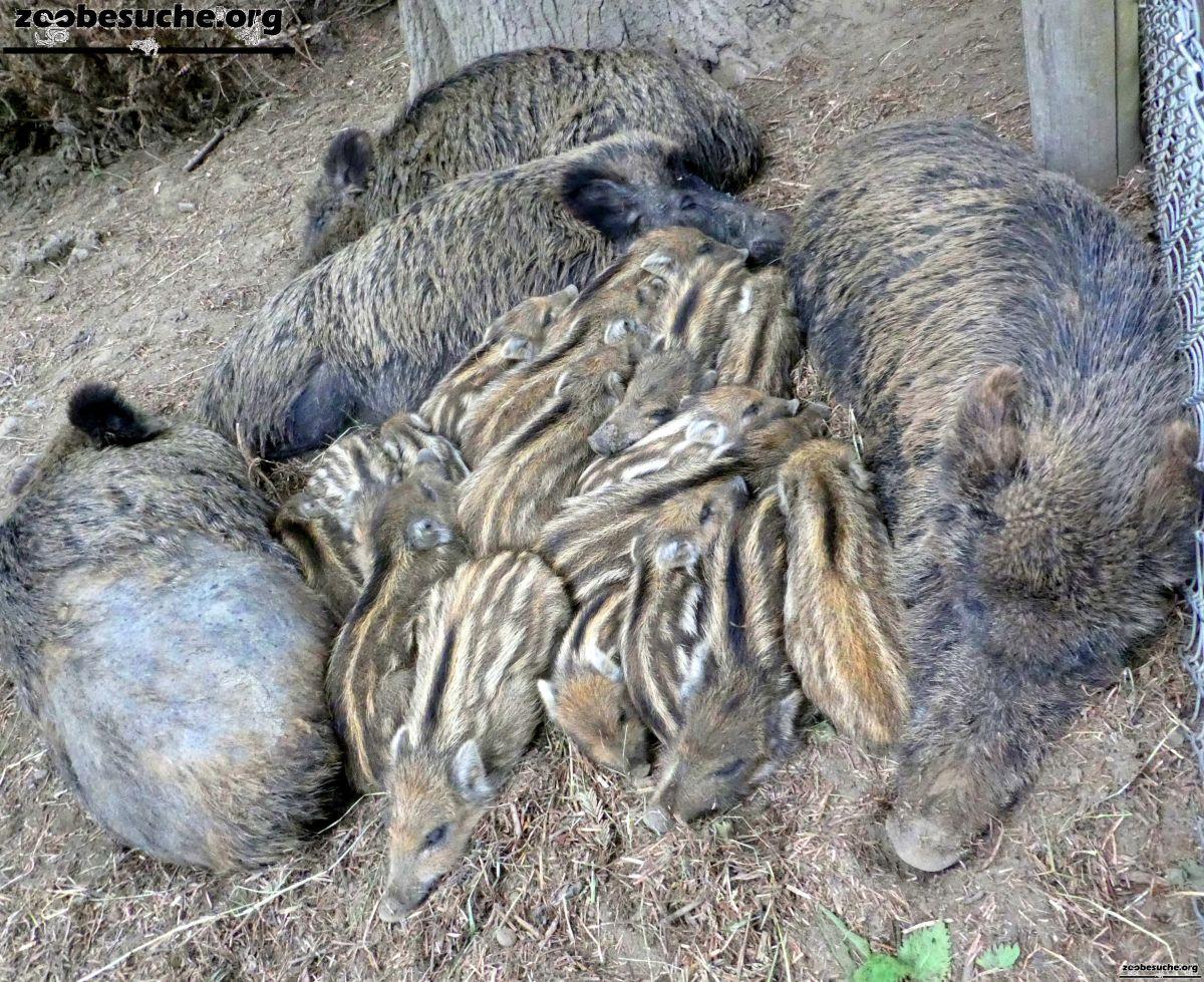 Wildschweine  (5)