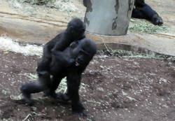 Gorilla Jungtier  (3)