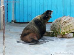 Nördlicher Seebär  (4)