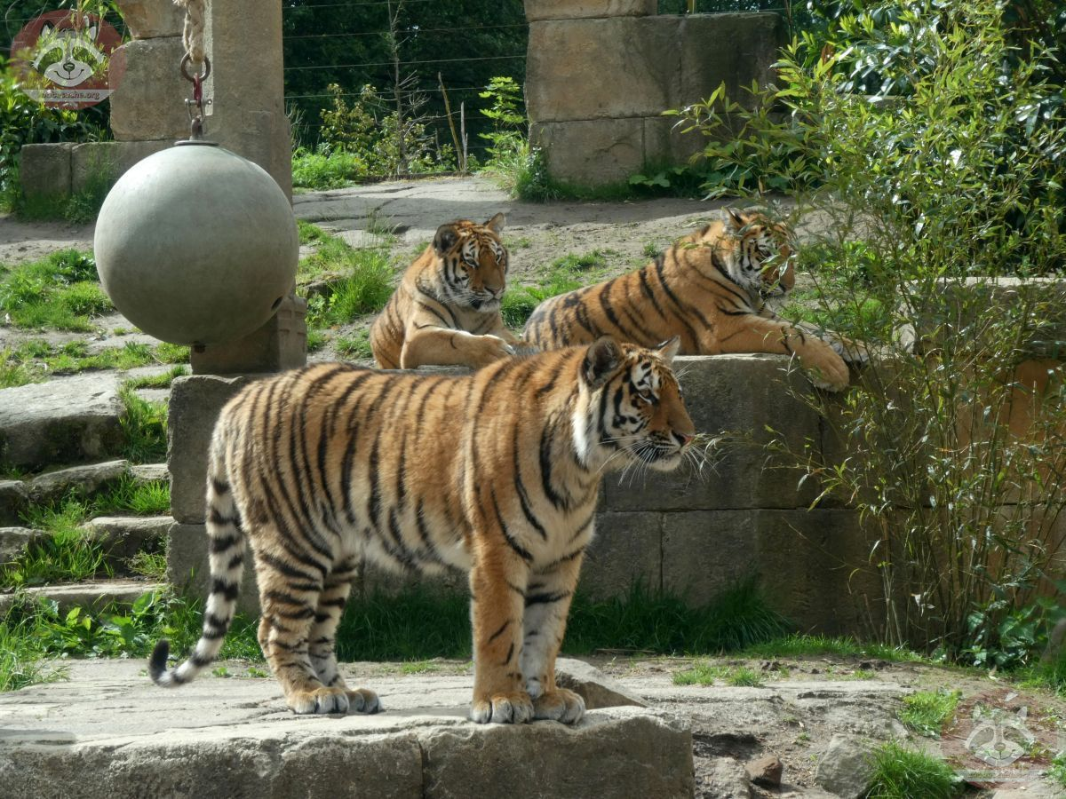 Tiger  (6)