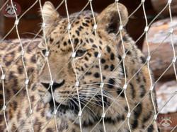 Armurleopard  (3)