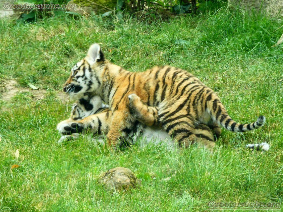 Tiger Jungtiere  (49)