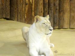 Weiße Löwin (4)