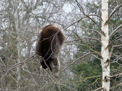 Waschbären  (11)