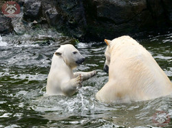 Eisbären_Nana_und_Milana_(7)
