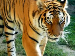 Tigerin Alexa  (4)