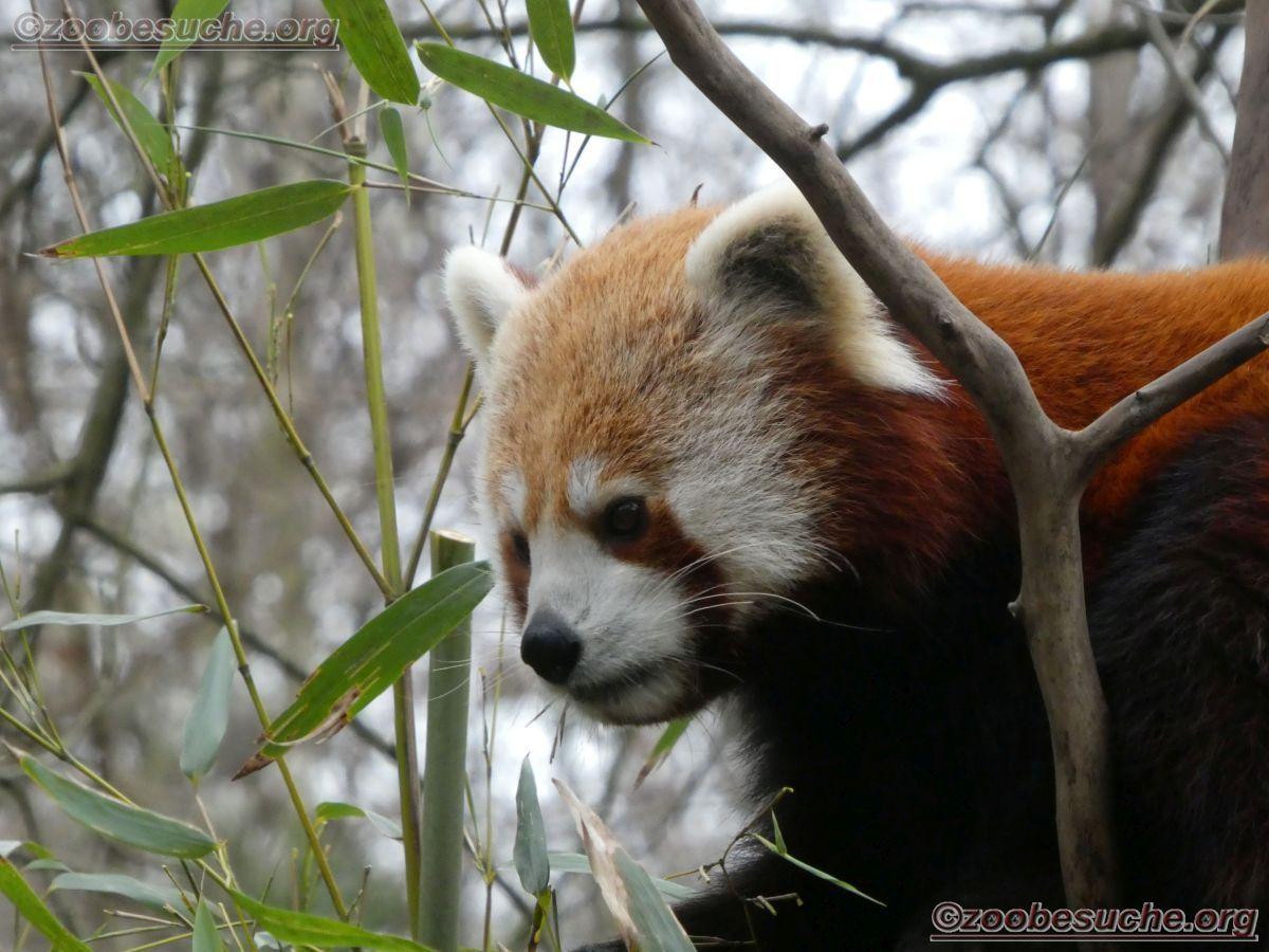 Roter Panda  (6)