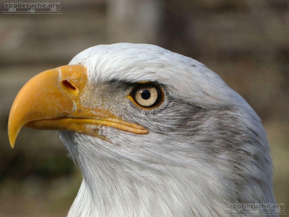 Weißkopfseeadler  (5)