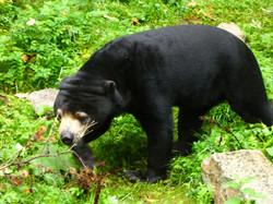 Malaienbär  (3)