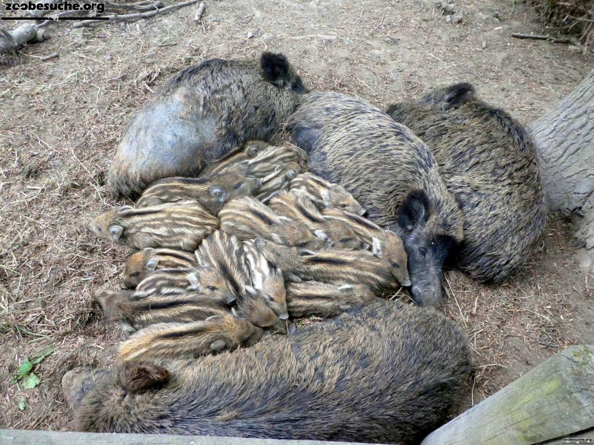 Wildschweine  (3)