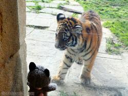 Wuschel mit Tiger Jungtier  (23)
