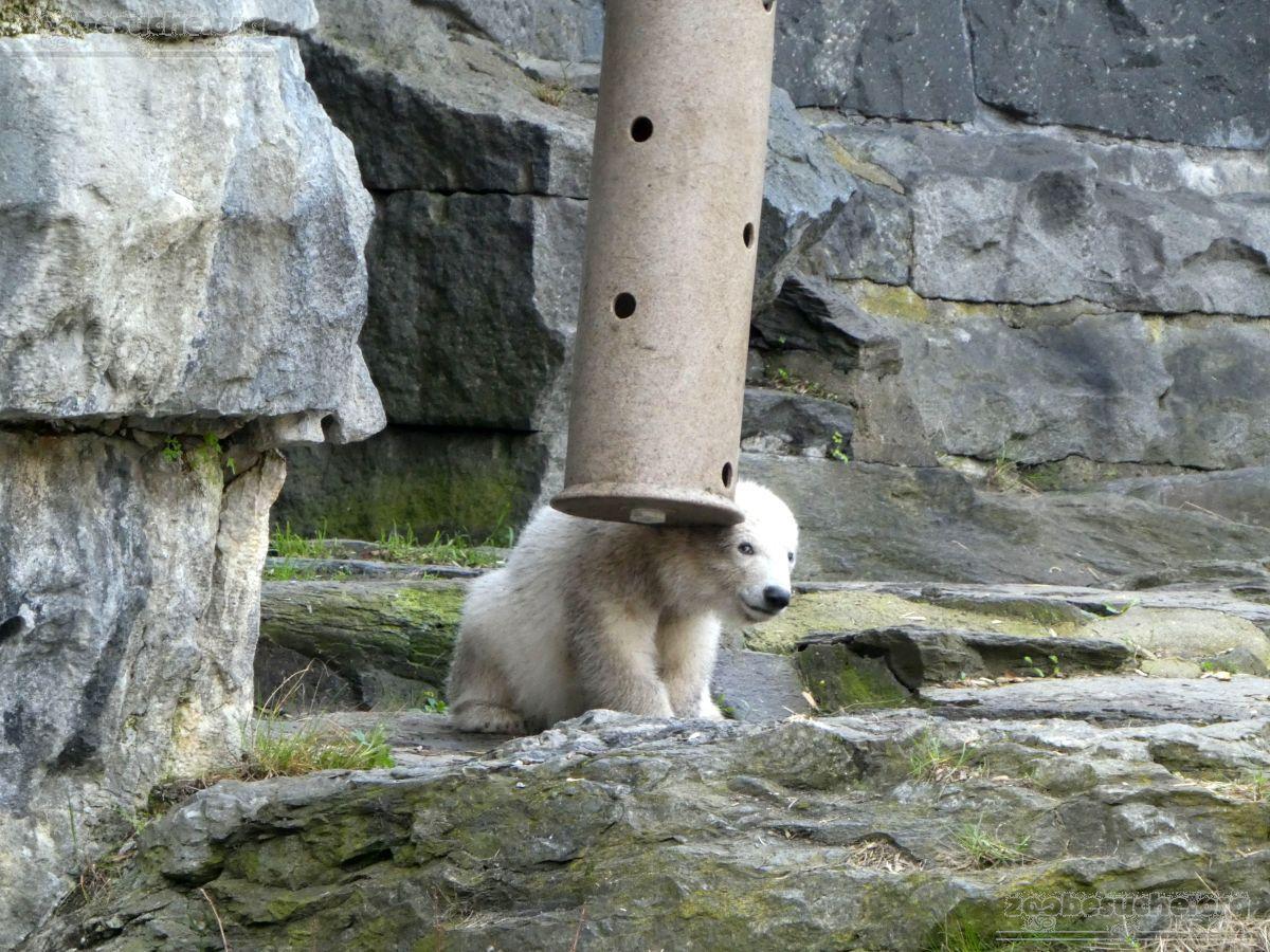 Eisbär  (19)