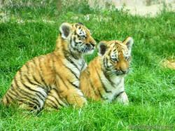 Tiger Jungtiere  (3)