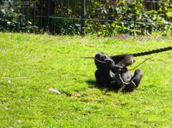 Gorilla Anandi Purzelbaum  (4)