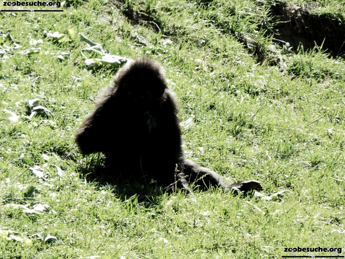 Gorilla Jungtier Tara  (2)