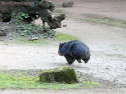 Tasmanischer Nacktnasenwombat Maya  (1).