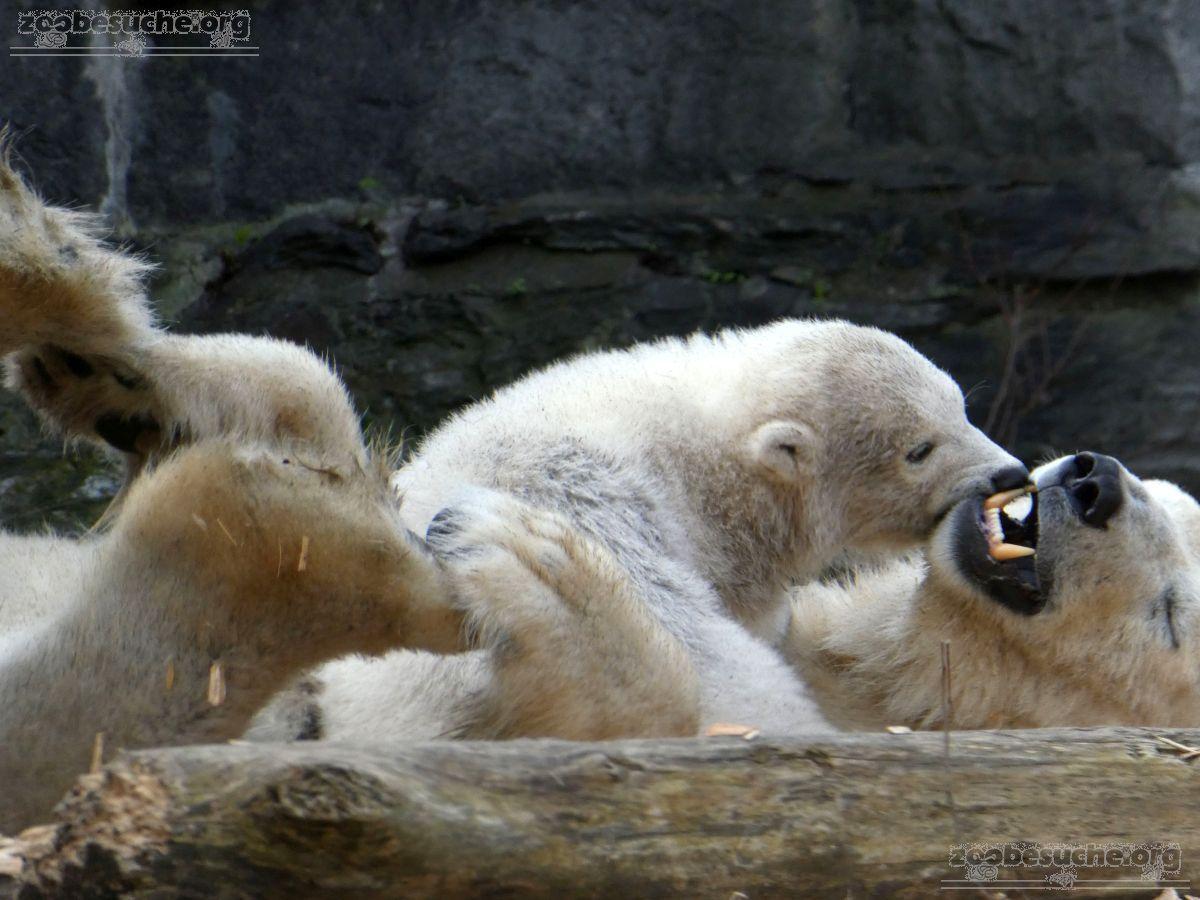 Eisbär  (73)