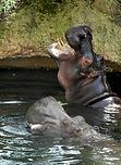 Flusspferd  (6).jpg