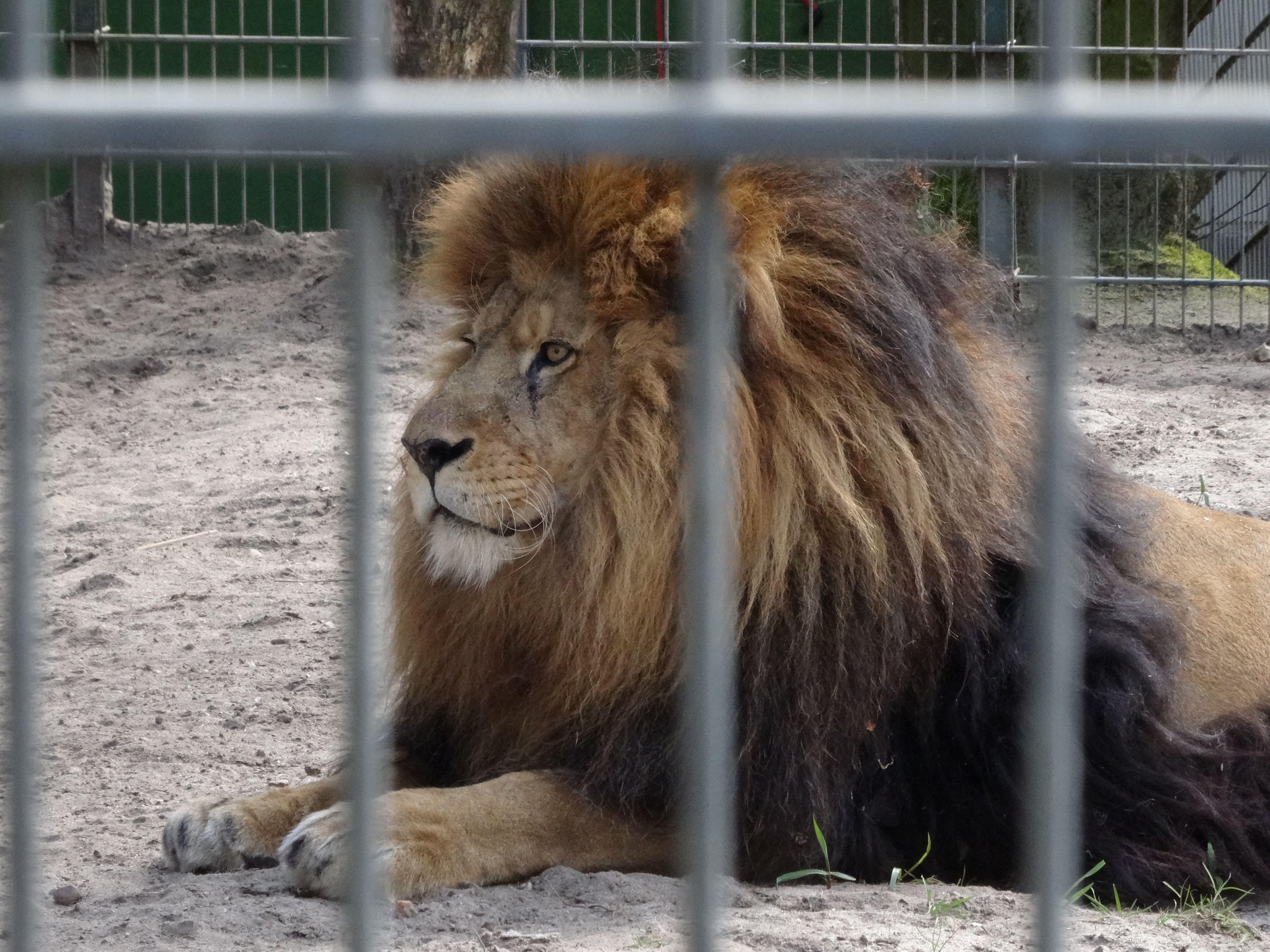Löwe  (1)