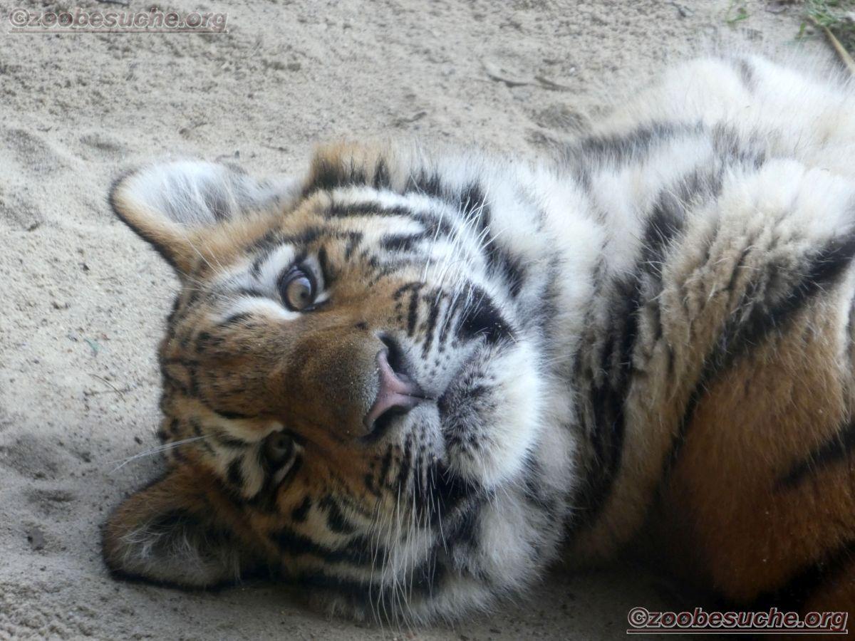 Tiger Jungtier (2)