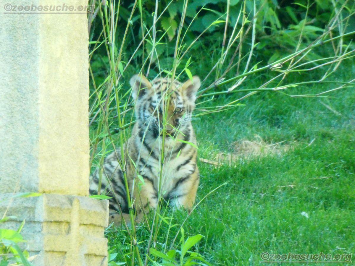 Tiger  (46)