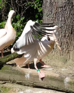 Pelikan  (5)