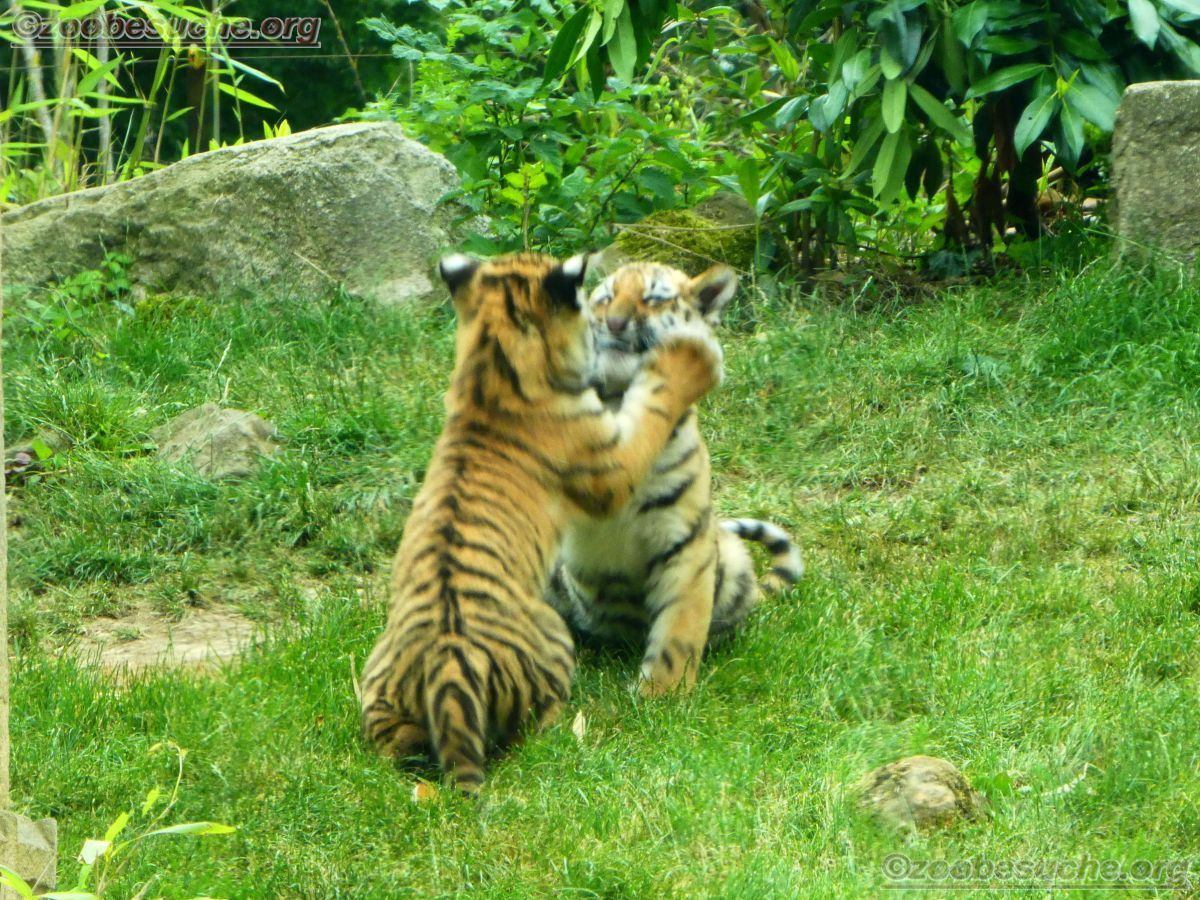 Tiger Jungtiere  (12)