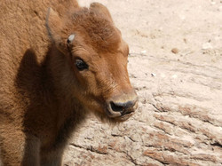 Bison  (5)