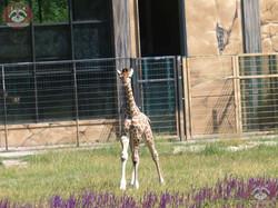 Giraffe Henry  (7)