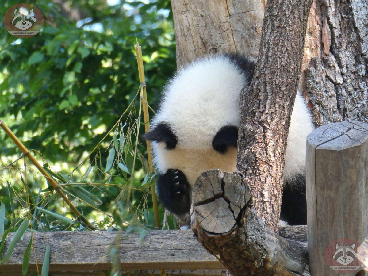 Panda Jungtier  (6)