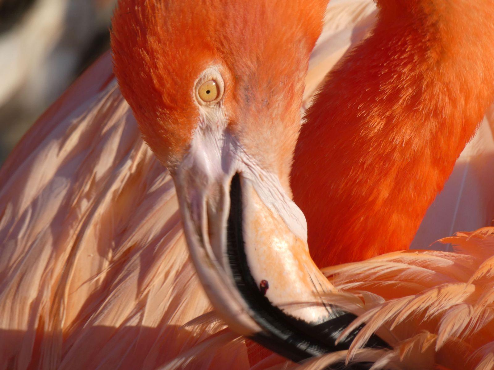 Flamingo  (4)