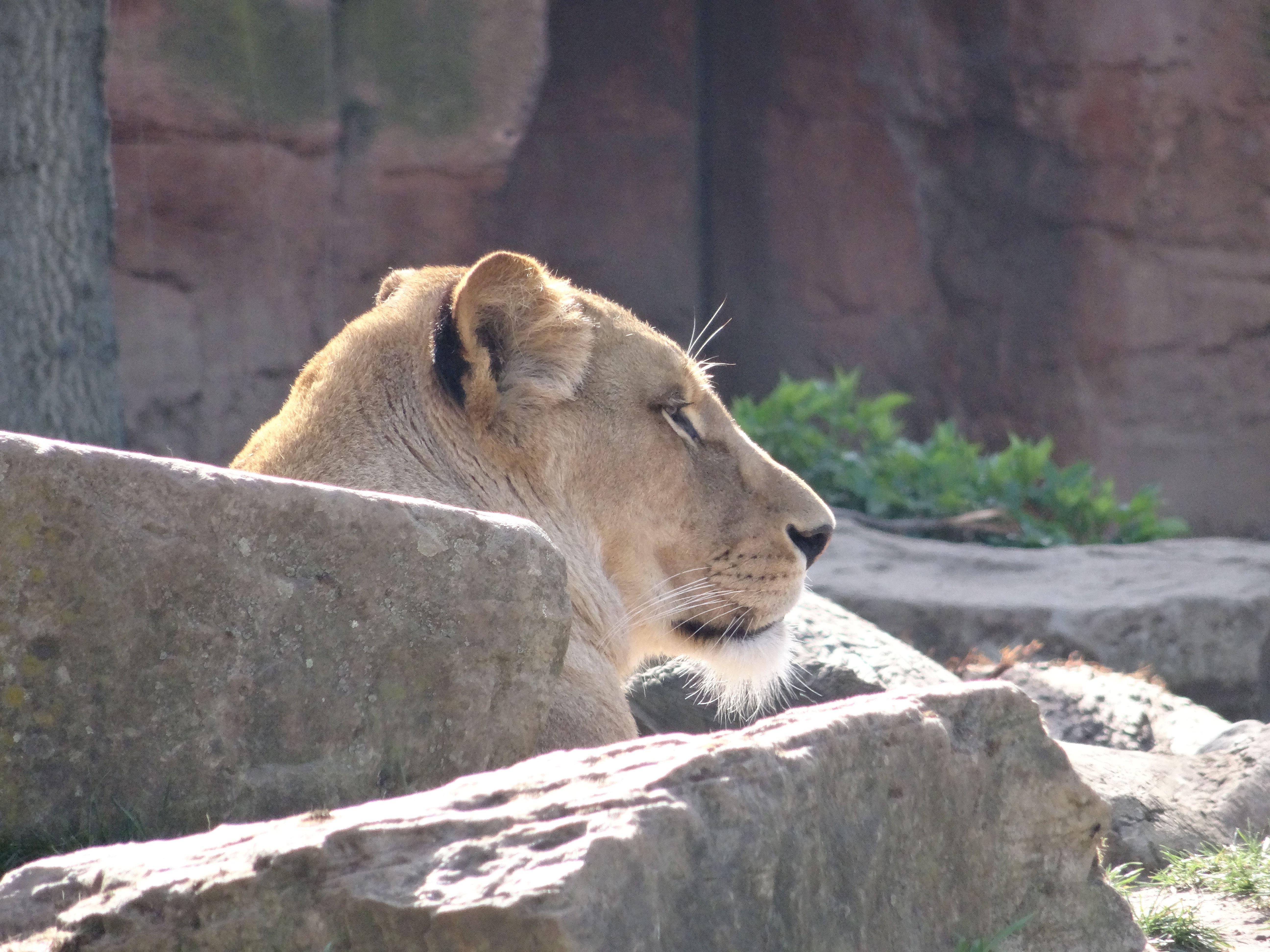 Löwe  (3)