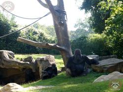 Gorilla Buzandi (7)