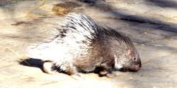 Stachelschwein  (10)