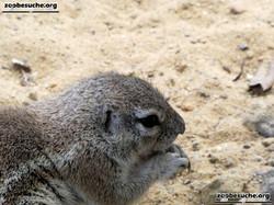 Kap-Borstenhörnchen  (2)
